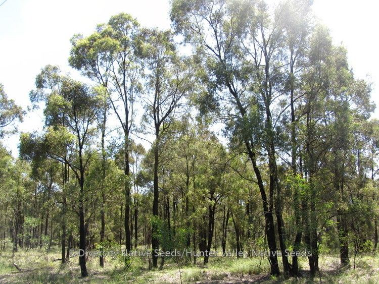 Eucalyptus crebra Eucalyptus crebra narrowleaved ironbark Diversity Native Seeds
