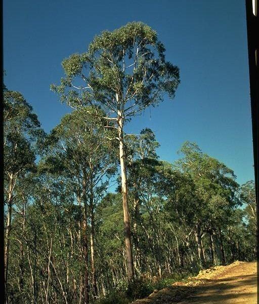 Eucalyptus delegatensis Alpine Ash WT Landcare Flora Index