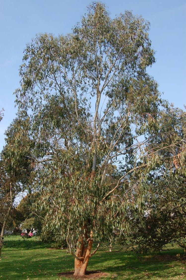 Eucalyptus delegatensis Eucalyptus delegatensis landscape architect39s pages