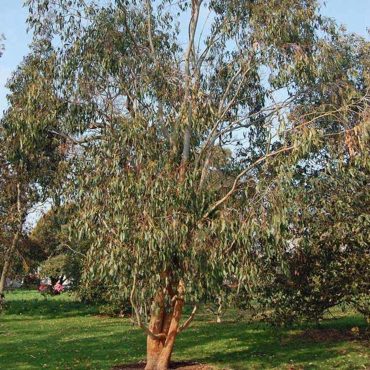 Eucalyptus delegatensis Australian Seed EUCALYPTUS delegatensis