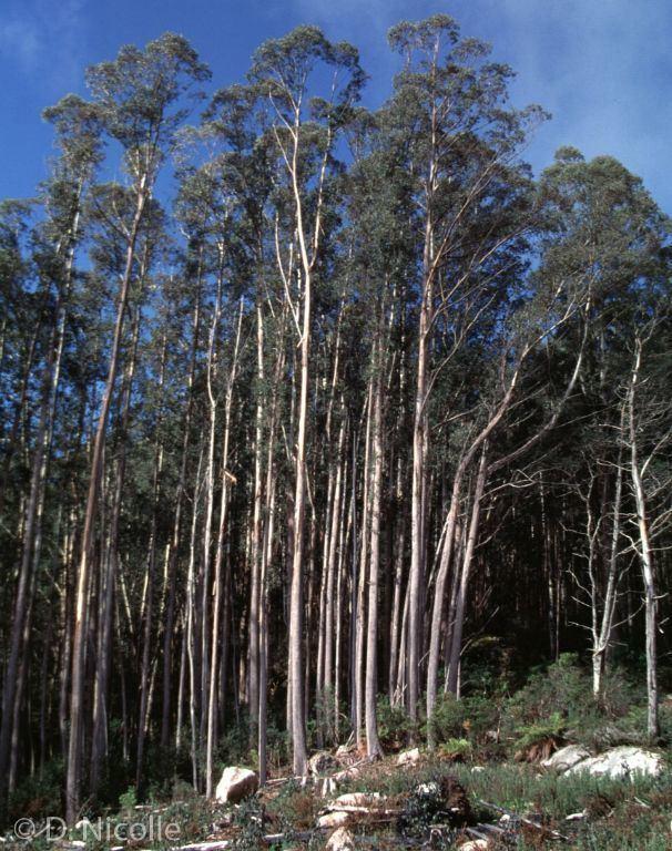 Eucalyptus delegatensis wwwdncomauEucalyptDiversityAustraliagallery