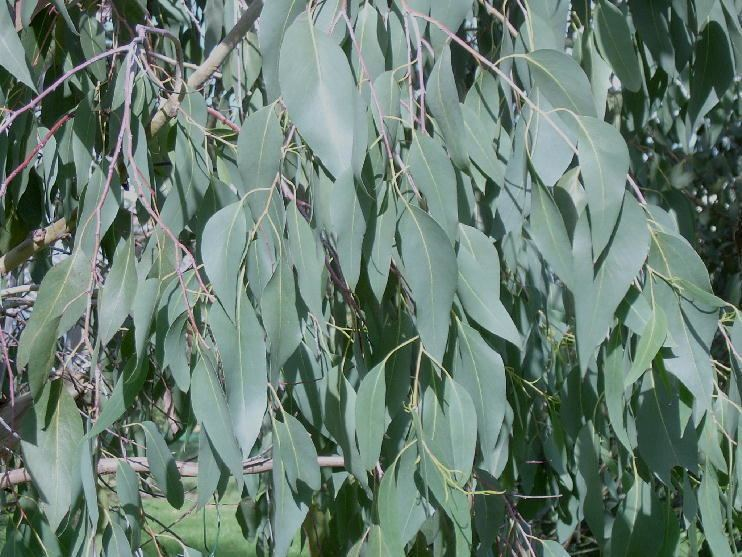 Eucalyptus delegatensis Eucalyptus delegatensis