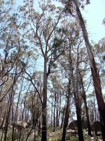 Eucalyptus delegatensis Eucalyptus delegatensis School of BioSciences
