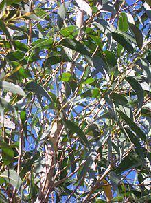 Eucalyptus dendromorpha httpsuploadwikimediaorgwikipediacommonsthu