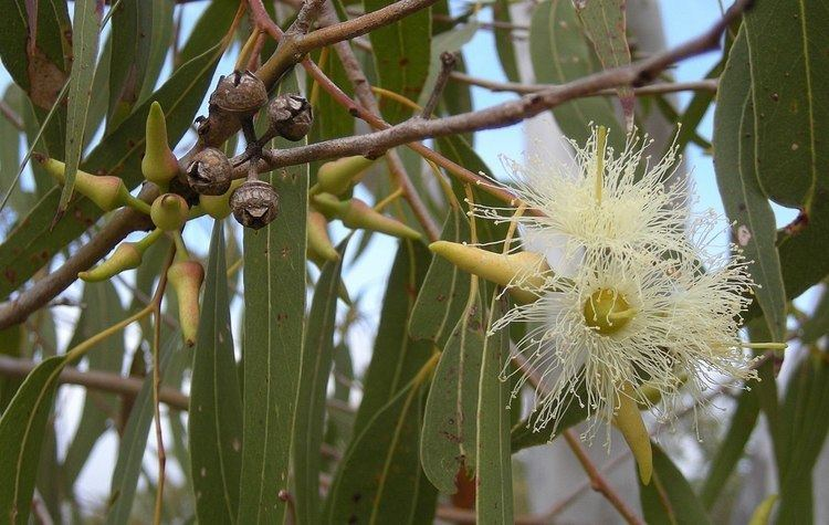 Eucalyptus Eucalyptus Wikipedia