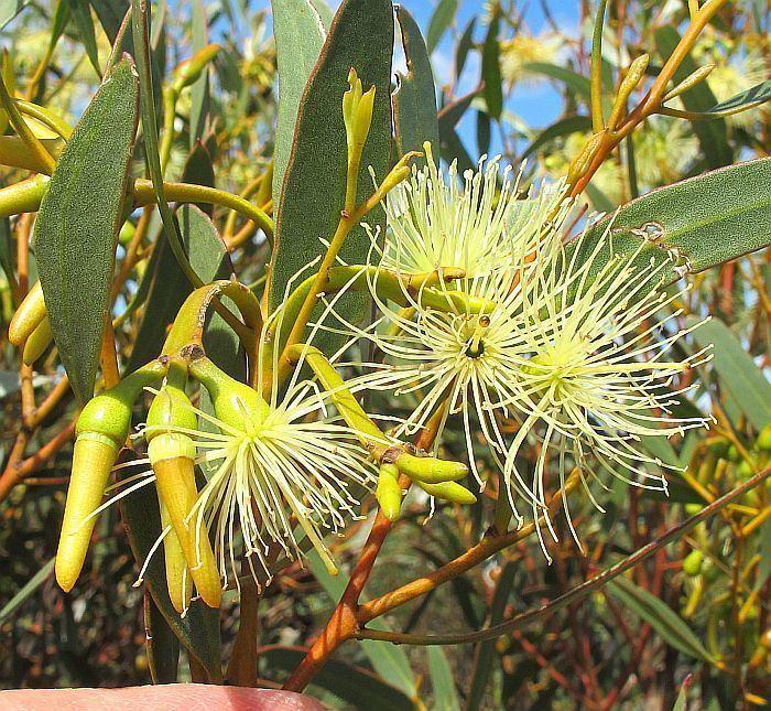 Eucalyptus eremophila Esperance Wildflowers Eucalyptus eremophila subsp eremophila