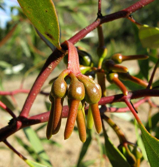 Eucalyptus eremophila UFEI SelecTree A Tree Selection Guide