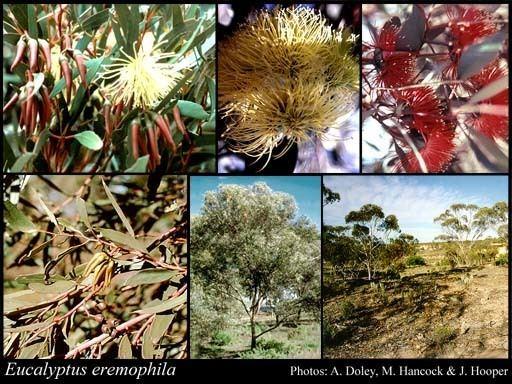 Eucalyptus eremophila httpsflorabasedpawwagovausciencetimage56