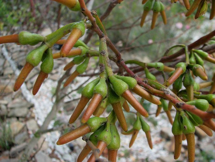 Eucalyptus eremophila Eucalyptus eremophila Wikipedia
