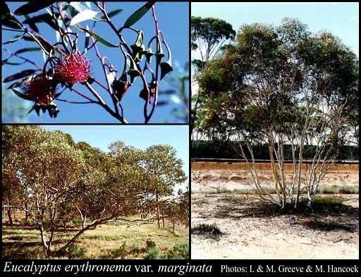 Eucalyptus erythronema Eucalyptus erythronema var marginata Benth Domin FloraBase