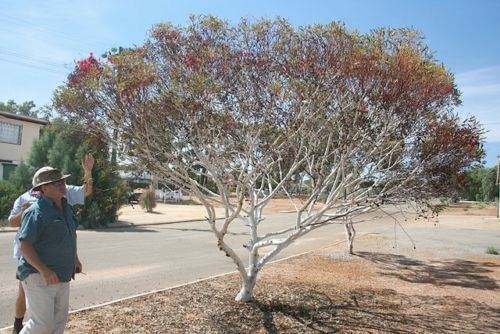 Eucalyptus erythronema WHITE MALLEE GUM RED FLOWERED FORM Eucalyptus erythronema 100