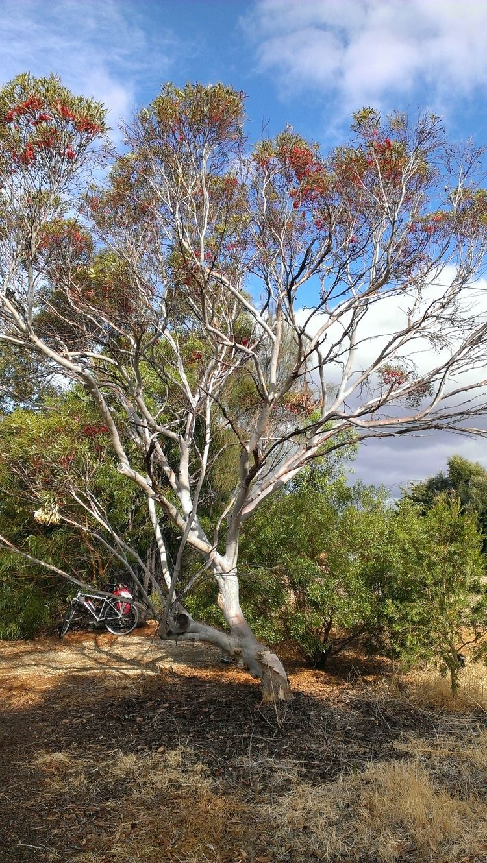Eucalyptus erythronema Eucalyptus Erythronema var Erythronema Local amp Bespoke