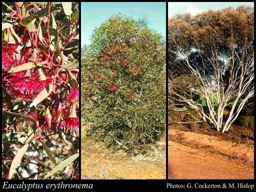 Eucalyptus erythronema httpsflorabasedpawwagovausciencetimage56