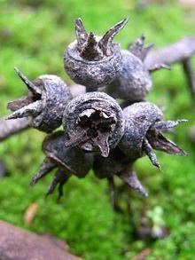Eucalyptus expressa httpsuploadwikimediaorgwikipediacommonsthu
