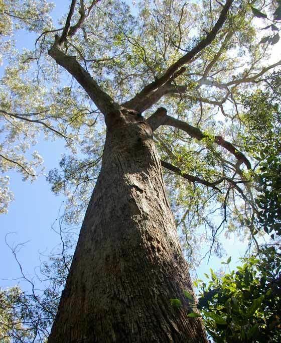 Eucalyptus fastigata GardensOnline Eucalyptus fastigata