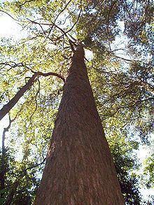 Eucalyptus fastigata httpsuploadwikimediaorgwikipediacommonsthu
