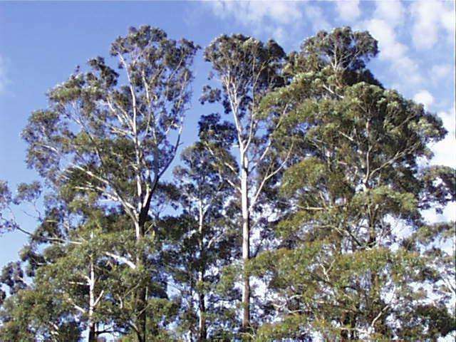 Eucalyptus fastigata Eucalyptus fastigata Brown Barrel Cut Tail