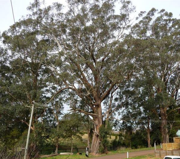 Eucalyptus fastigata Tree Register National Register of Big Trees