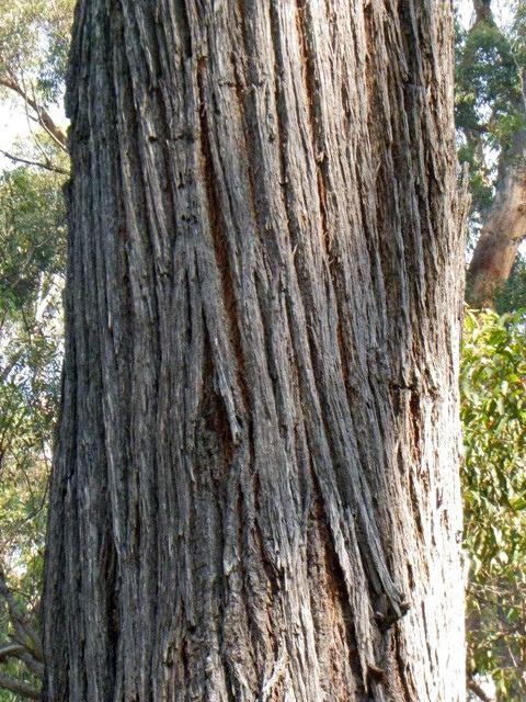 Eucalyptus fastigata Eucalyptus fastigata Mallacoota Saltwater Ck Croajing Flickr