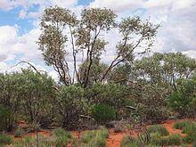 Eucalyptus gamophylla httpsuploadwikimediaorgwikipediacommonsthu