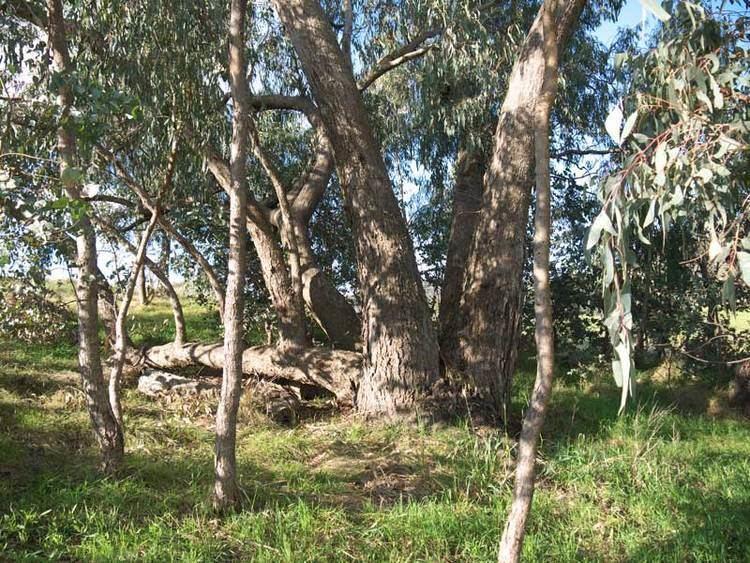 Eucalyptus goniocalyx Dyeing with Eucalyptus goniocalyx KathyW39s WebSite