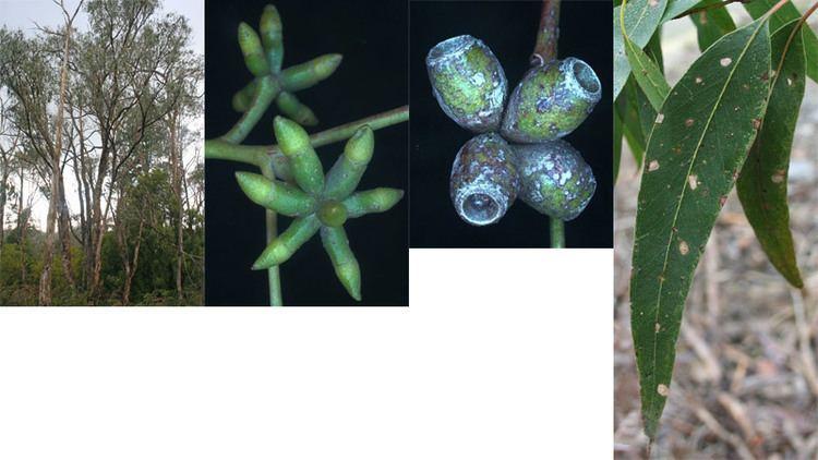 Eucalyptus goniocalyx Eucalyptus goniocalyx