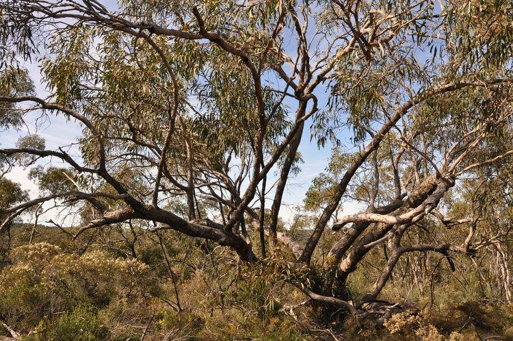 Eucalyptus goniocalyx COP Eucalyptus goniocalyx ag A venerable Longleaved Box Flickr