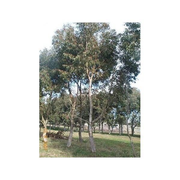 Eucalyptus goniocalyx Eucalyptus goniocalyx Longleaved Box Bundy Mountain Grey Gum