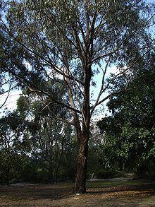 Eucalyptus goniocalyx httpsuploadwikimediaorgwikipediacommonsthu