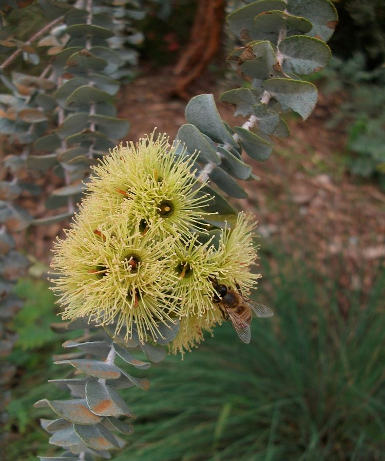 Eucalyptus kruseana Eucalyptus kruseana Wikipedia