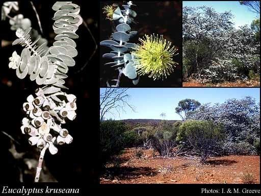 Eucalyptus kruseana Eucalyptus kruseana FMuell FloraBase Flora of Western Australia