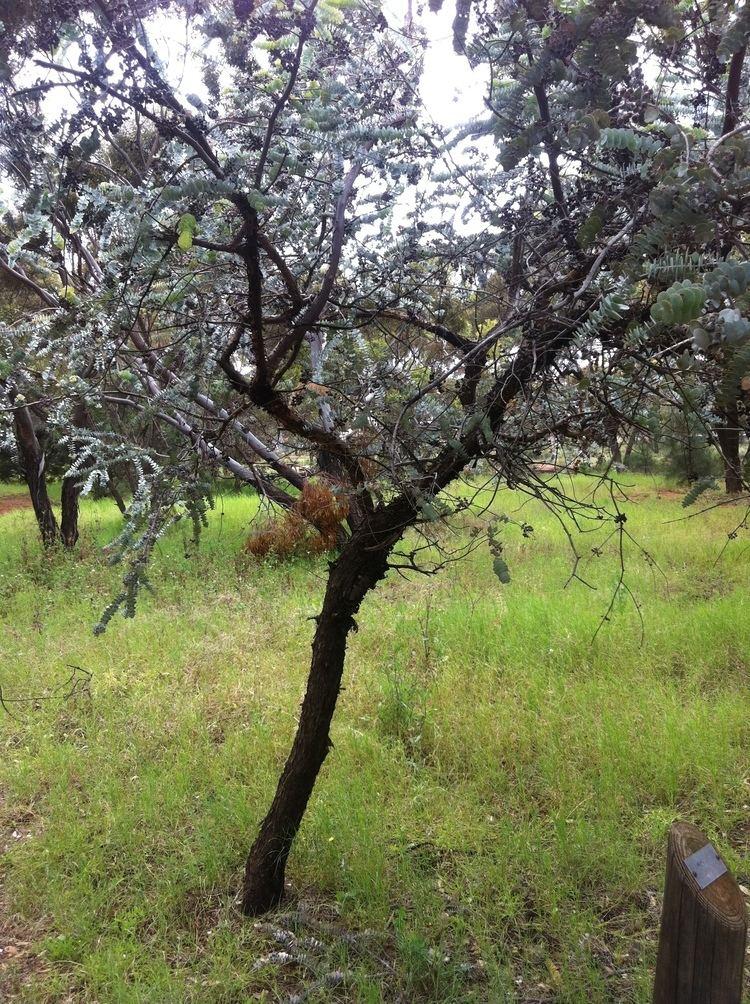 Eucalyptus kruseana httpsuploadwikimediaorgwikipediaen99eEuc
