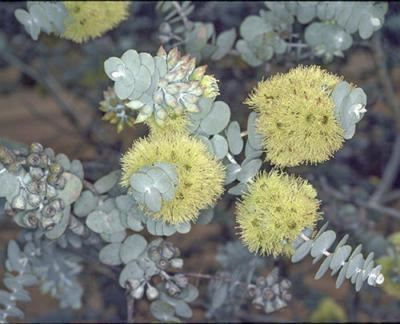 Eucalyptus kruseana Factsheet Eucalyptus kruseana