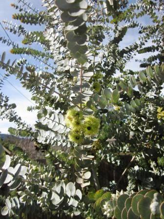 Eucalyptus kruseana Eucalyptus kruseana Australian Native Plants Plants 8007016517