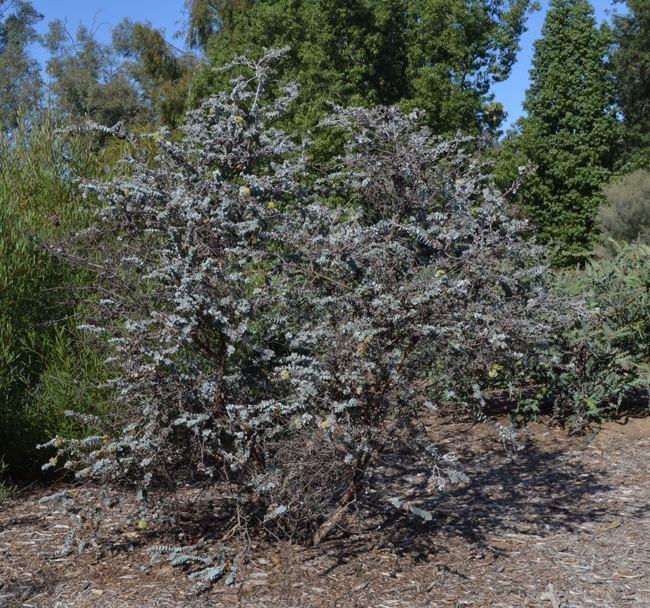 Eucalyptus kruseana UFEI SelecTree A Tree Selection Guide