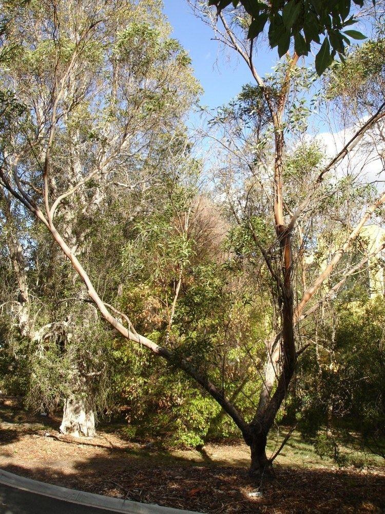 Eucalyptus lansdowneana httpsuploadwikimediaorgwikipediacommonscc