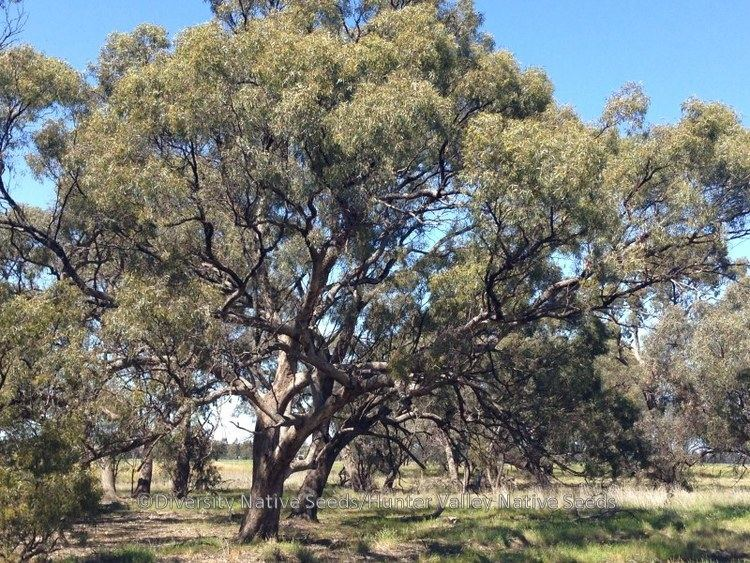 Eucalyptus largiflorens Eucalyptus largiflorens black box Diversity Native Seeds