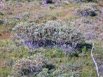 Eucalyptus luehmanniana Eucalyptus luehmanniana Wikipedia