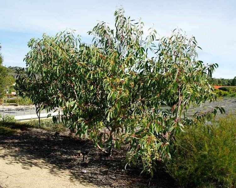 Eucalyptus luehmanniana GardensOnline Eucalyptus luehmanniana