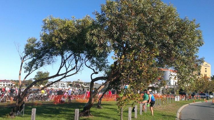 Eucalyptus macrandra Eucalyptus Macrandra Local amp Bespoke