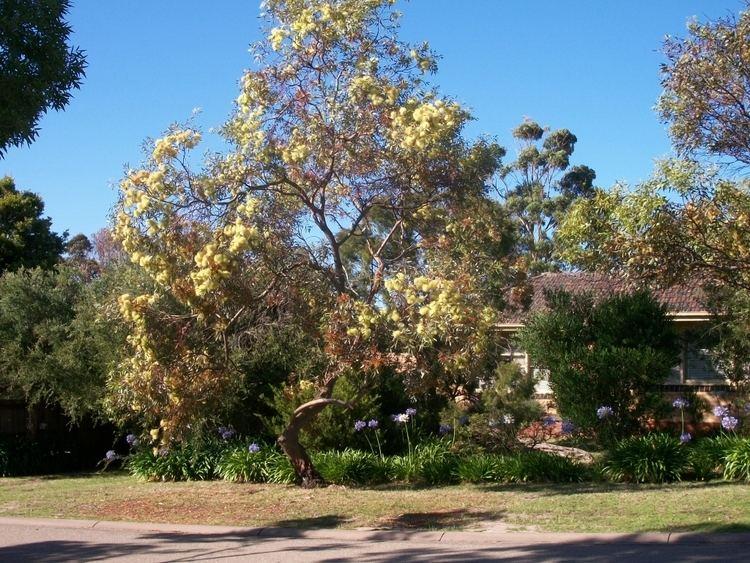 Eucalyptus macrandra Eucalyptus macrandra Longflowered Marlock Gardening With Angus