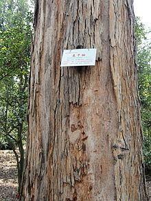 Eucalyptus maidenii httpsuploadwikimediaorgwikipediacommonsthu