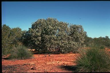 Eucalyptus orbifolia Eucalyptus orbifolia 5121GJ011LH230522jpg