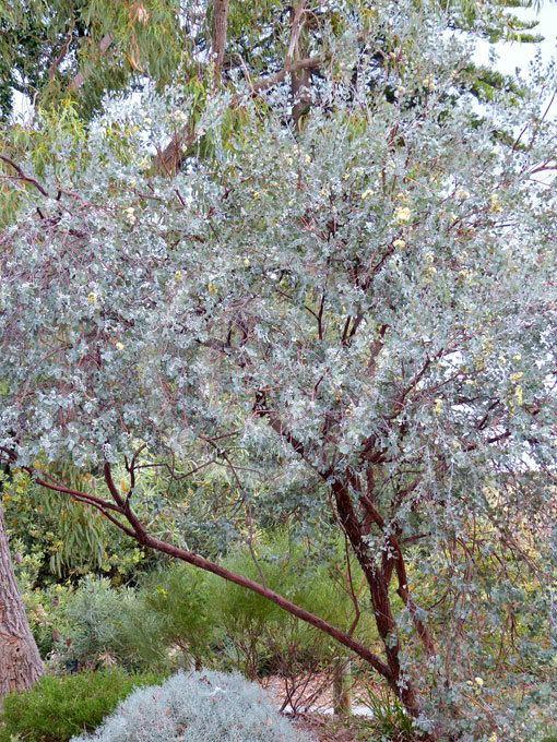 Eucalyptus orbifolia Eucalyptus orbifolia Round Leaf Mallee information amp photos