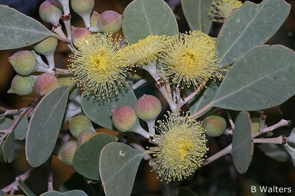 Eucalyptus orbifolia Eucalyptus orbifolia