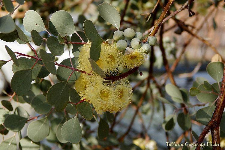 Eucalyptus orbifolia Eucalyptus orbifolia in Kings Park Identified as Eucalyptu Flickr