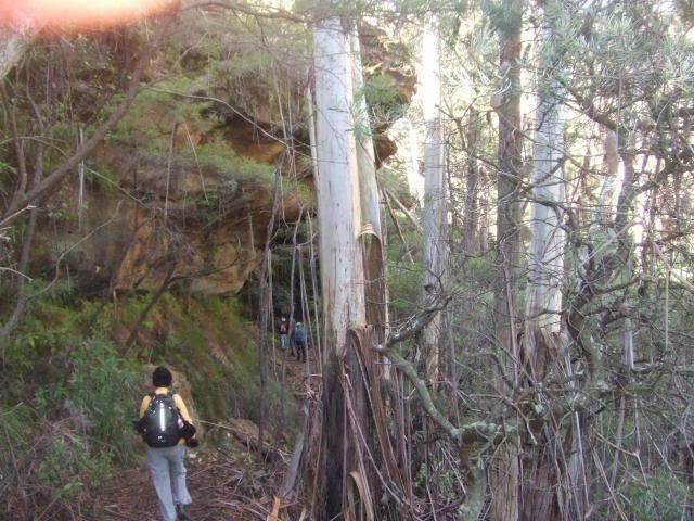Eucalyptus oreades Eucalyptus oreades PNW Palms and Exotics