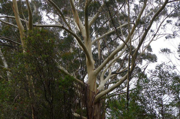 Eucalyptus oreades Eucalyptus oreades Blue Mountains Ash at the Canyon View Flickr
