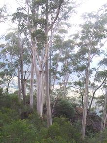 Eucalyptus oreades httpsuploadwikimediaorgwikipediacommonsthu