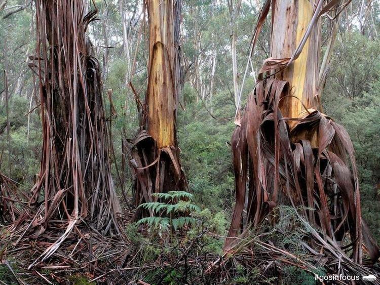Eucalyptus oreades Gardens of Stone In Focus Photographic Competition Gallery Colong